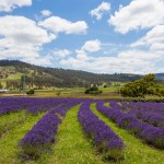 Port Arthur Lavender is an organic lavender farm growing and manufacturing a large range of quality handmade products.